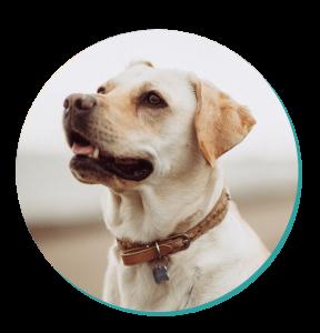 labrador dog breed