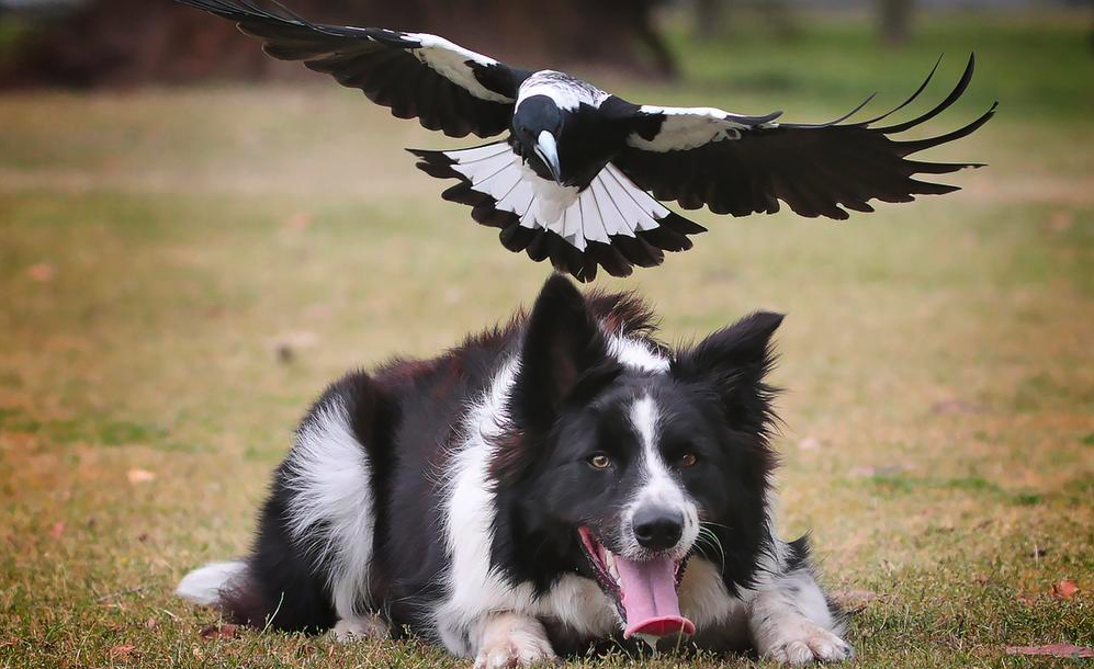 protect pets from magpie swooping