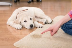Pet Smells and Pet Stains in Carpet