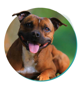 Staffy Dog Breeds Staffordshire Bull Terrier