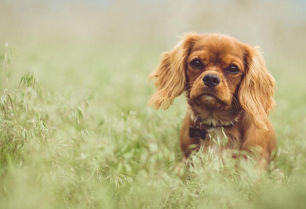 dog breed corner cavalier king charles spaniel mad paws blog