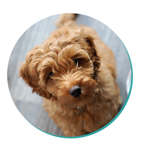 Dog Breed Corner - Cavoodle | Mad Paws Blog