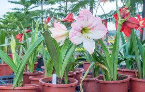 Amaryllis toxic plants for dogs