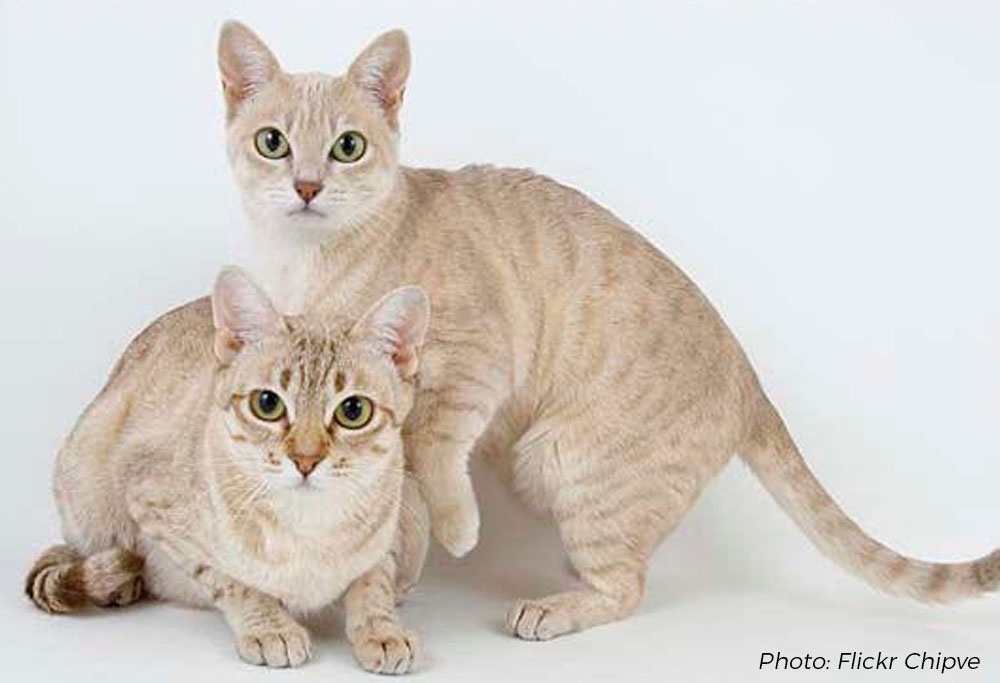 Cat Breed Corner: Australian Mist | Mad Paws Blog