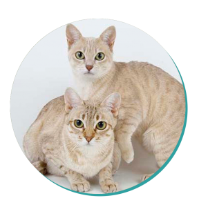 Cat Breed Corner Australian Mist Mad Paws Blog