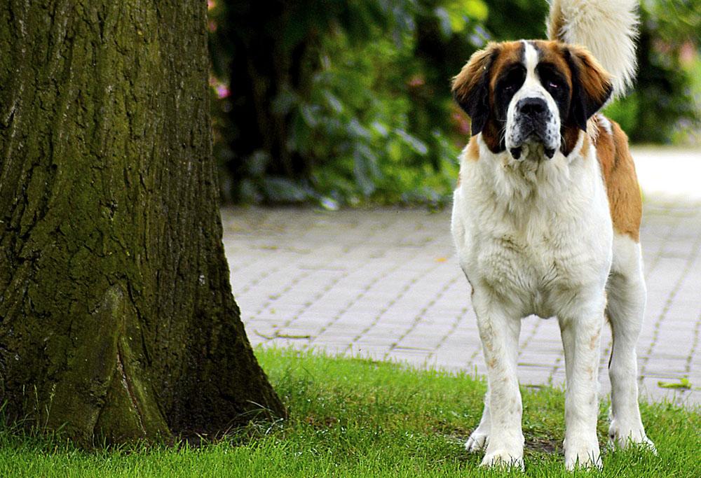 Dog Breed Corner: Saint Bernard   Mad Paws Blog