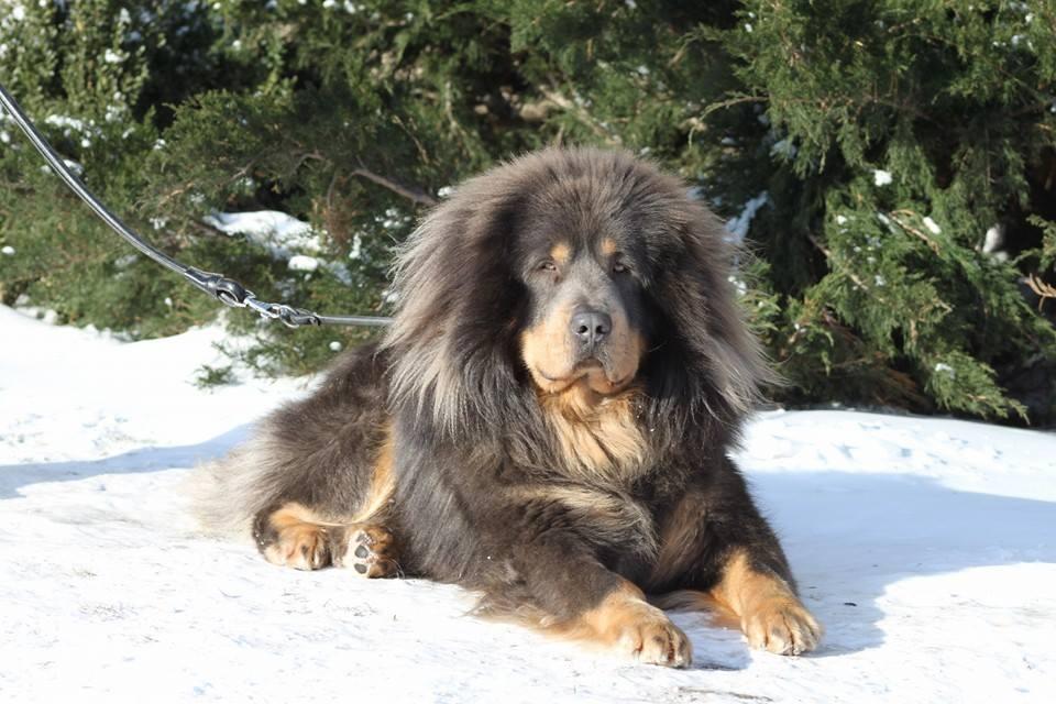 Tibetan Mastiff Breed