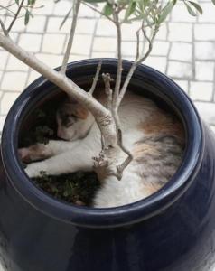 A cat that fits inside a pot plant