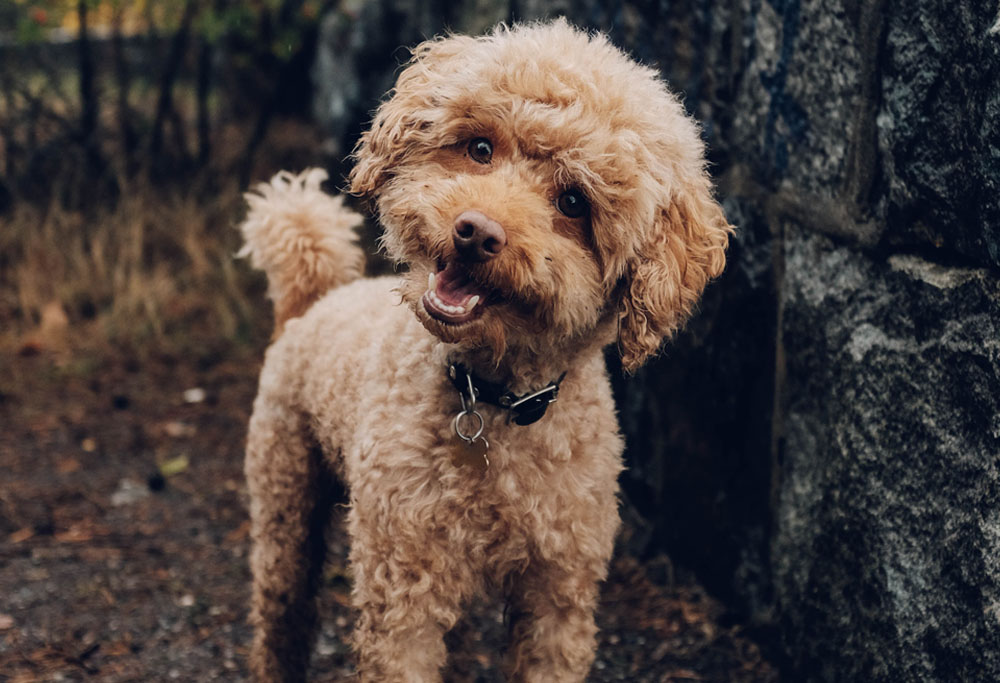 The mighty Poodle truly is the most regal (and hypoallergenic) of dogs.