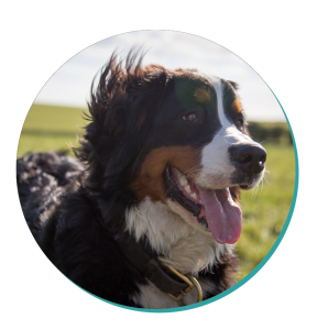 The Mighty Bernese Mountain Dog