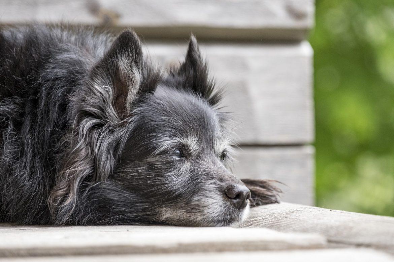 Dog with Osteoarthritis