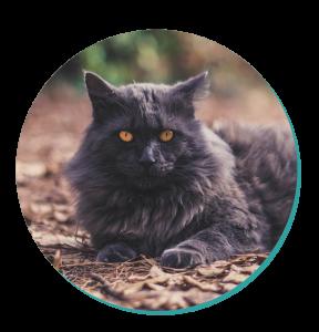Cat Breed Corner: Nebelung Cat | Mad Paws Blog