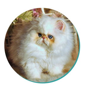 Minuet Cat Breed