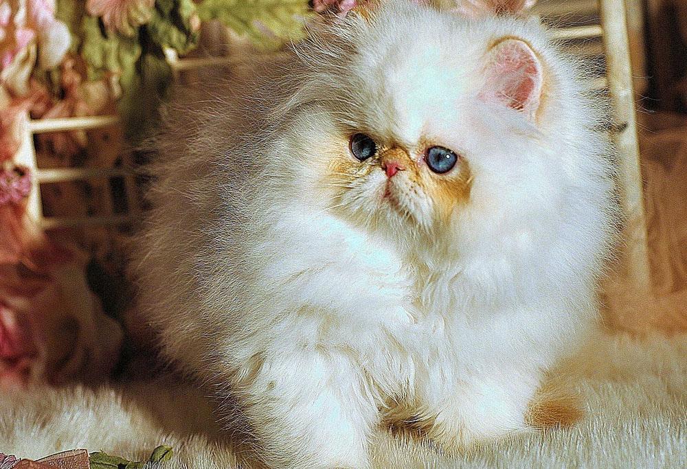 Minuet Napoleon Cat