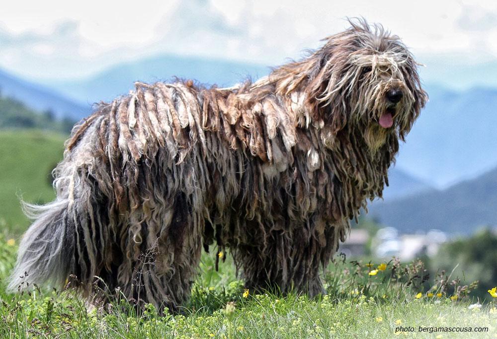 Bergamasco Shepherd Breed