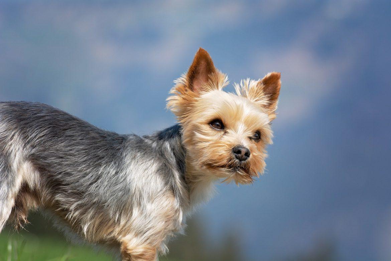 Small Dog Myths vs Reality