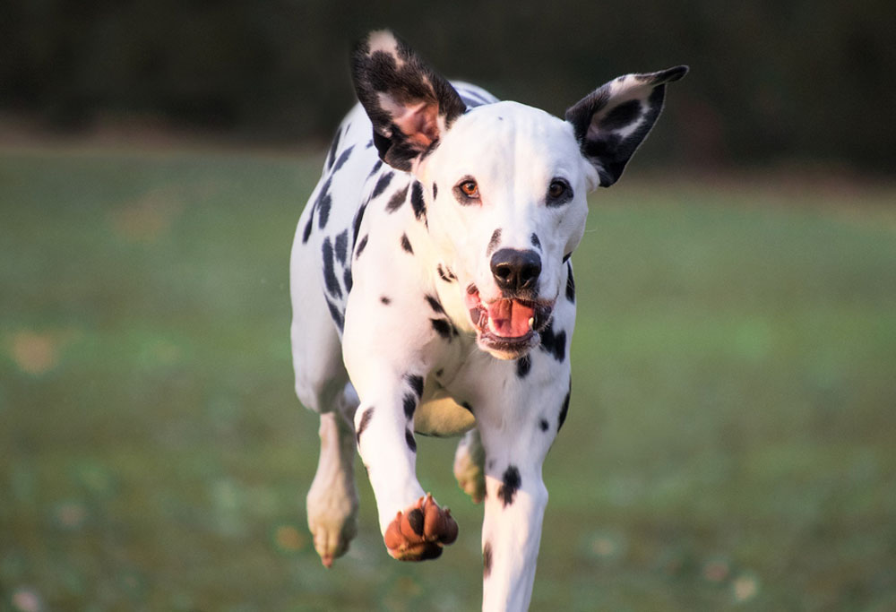 Dalmatian Breed