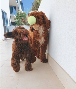Labradoodles with Tennis Ball