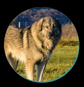Dog Breed Corner Sarplaninac