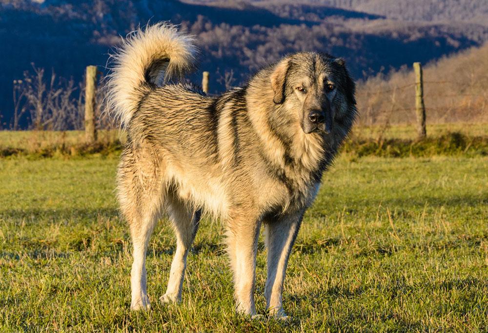 Sarplaninac Dog Breed