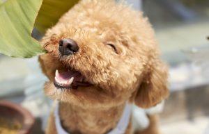 Top Hypoallergenic Dog Breeds