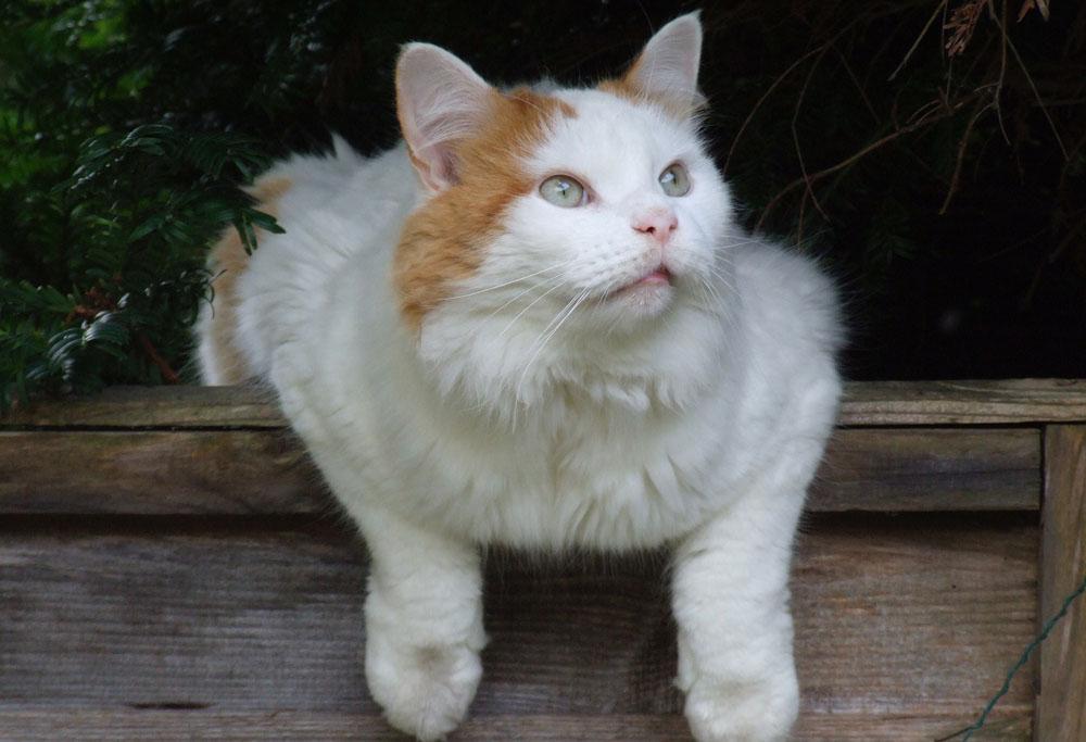 turkish van cat breed information