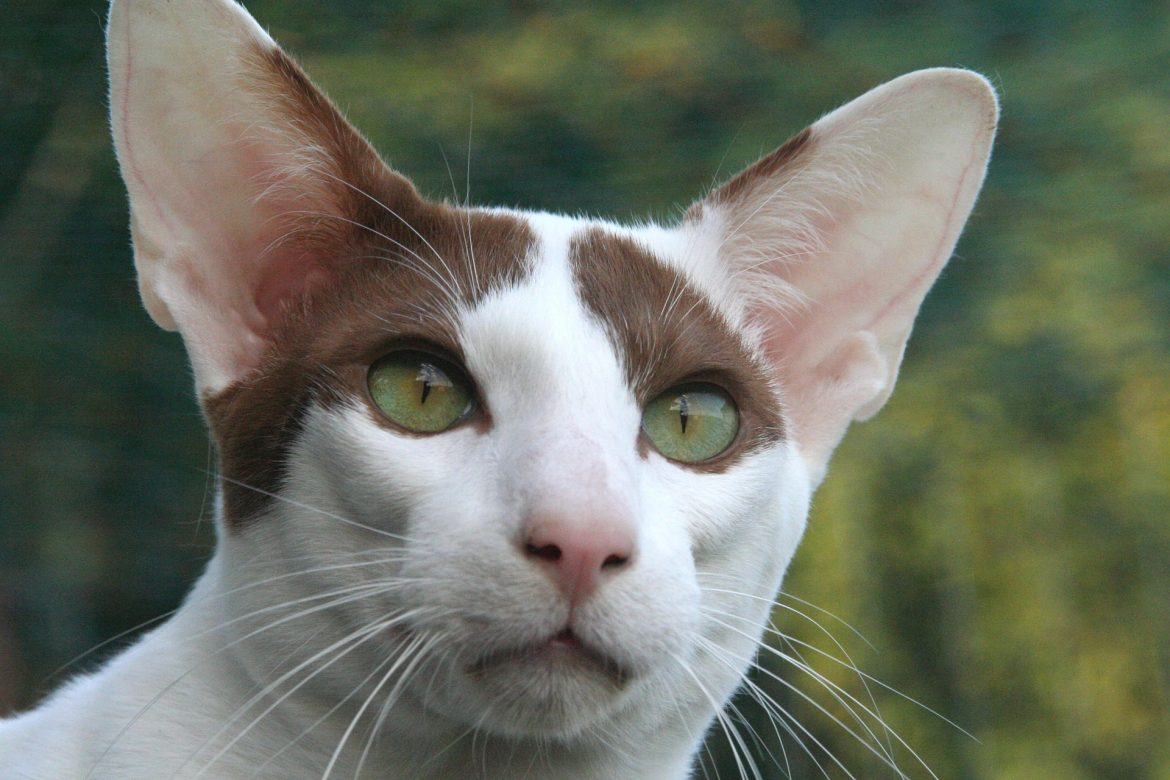 Oriental Shorthair: Cat Breeds | Breed Information | Mad Paws