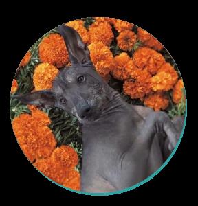 Xoloitzcuintli Dog Breeds
