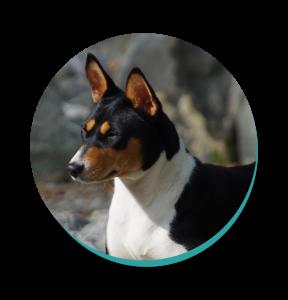 Dog Breeds Basenji