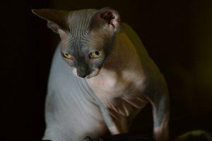 Feline Ectodermal Dysplasia