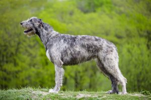 Irish Wolfhound Big Dog Breeds