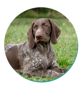 Dog Breeds German Shorthaired Pointer