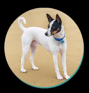 Dog Breeds Tenterfield Terrier