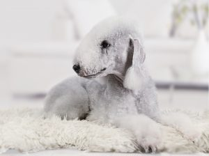 Dog Breeds with Floppy Ears