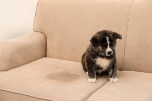 Stop Your Dog Peeing on Furniture