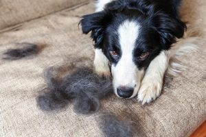 Do Border Collies Shed?
