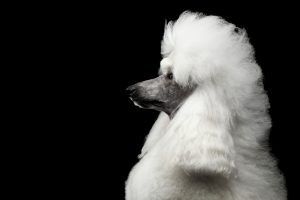 Assistance Dog Breeds Poodle