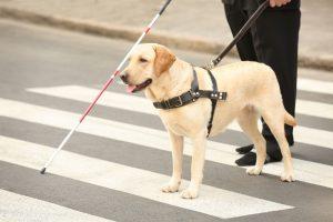 Assistance Dog Breeds Guide Dog