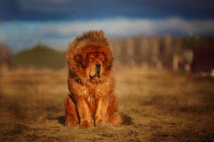 Tibetan Mastiff Strongest Dog Breeds