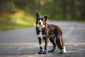 Does My Dog Need Shoes?